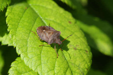 tufo: Stink Bug