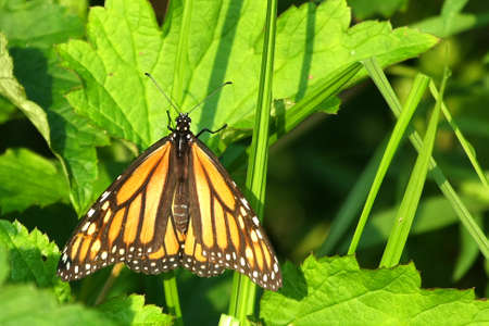 Monarch Butterfly Danaus plexippus photo