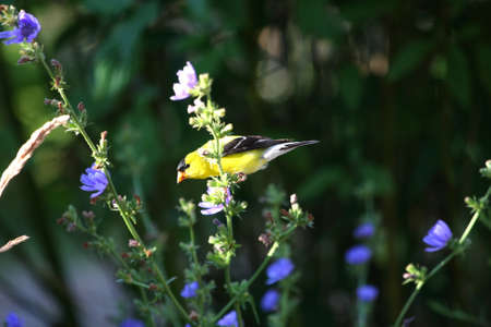 American Gold Finch Carduelis tristis male photo