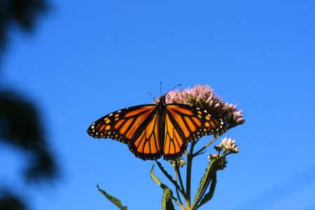 danaus: Monarch Butterfly Danaus plexippus