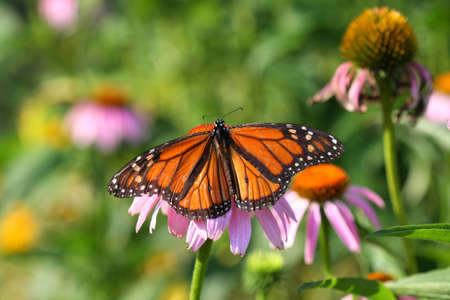 Monarch Butterfly Danaus plexippus photo