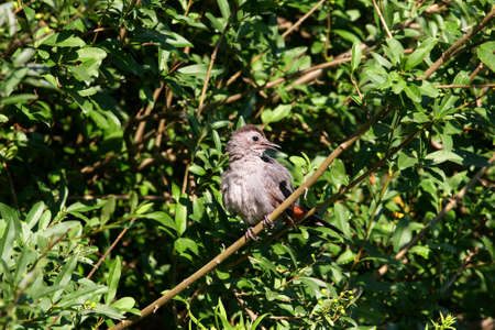 catbird: Gray Catbird umetella carolinensis  Stock Photo