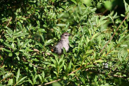 gray catbird: Gray Catbird umetella carolinensis  Stock Photo