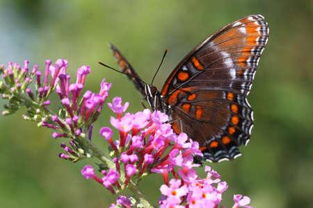 紫蝶 Limenitis アルテミスの赤の斑点のあります。