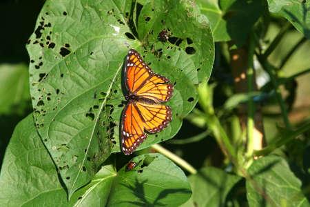 viceroy: Viceroy Butterfly-Limenitis archippus Stock Photo