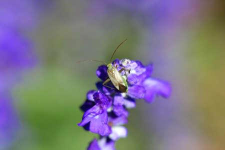 alfalfa: Alfalfa Plant Bug-Adelphocoris lineolatus Stock Photo