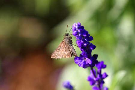 ochlodes: Skipper Butterfly on Purple Salvia mint family
