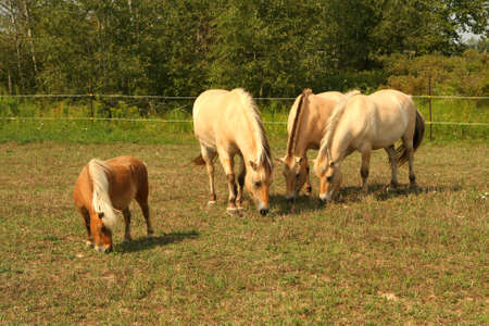 Norwegian Fjord Horse Stock Photo
