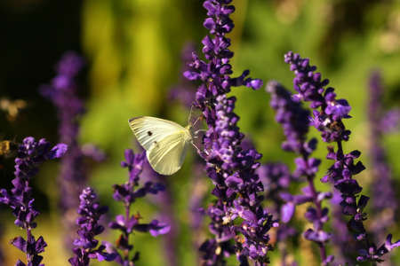 Cabbage White Butterfly Pieris rapae Stock Photo