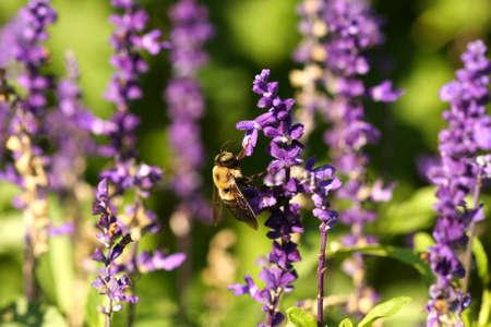 Carpenter Bee Xylocopinae Stock Photo