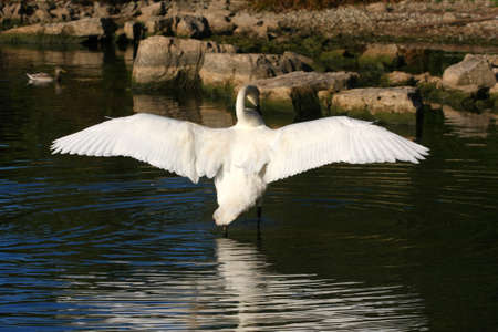 web footed: Trumpeter Swan Cygnus buccinator