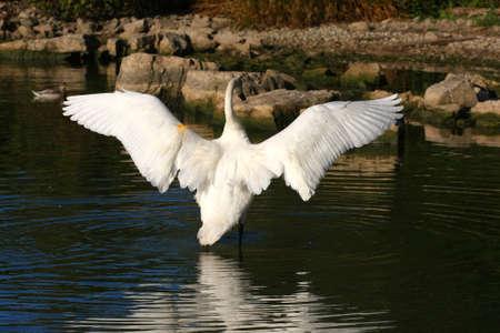 cygnus buccinator: Trumpeter Swan Cygnus buccinator