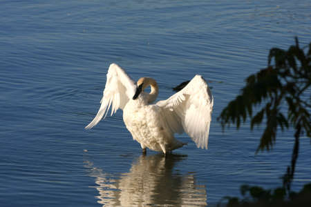 Trumpeter Swan Cygnus buccinator Stock Photo - 10818997