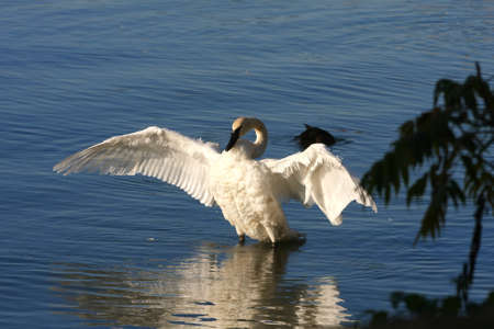 bird web footed: Trumpeter Swan Cygnus buccinator