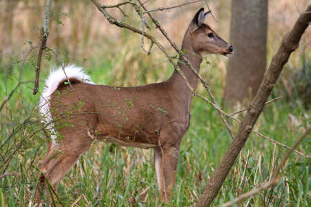 white tail: White-tailed Deer doe Stock Photo