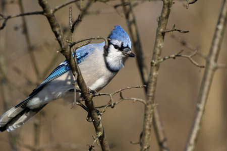 Bluejay photo