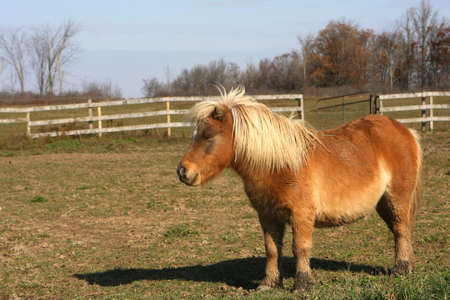 Mini Horse  photo