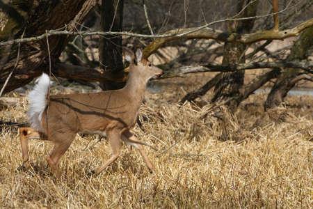 White-tailed Deer Odocoileus virginianus photo