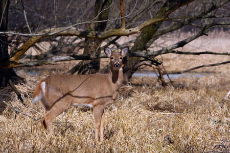 White-tailed Deer Odocoileus virginianus photo
