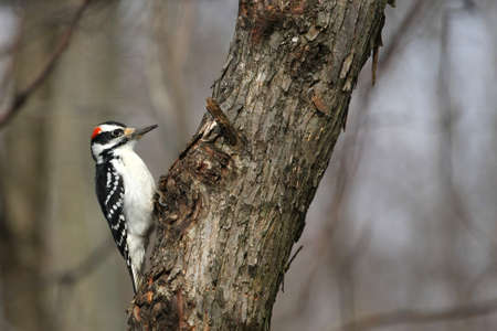 Hairy Woodpecker Picoides villosus Stock Photo