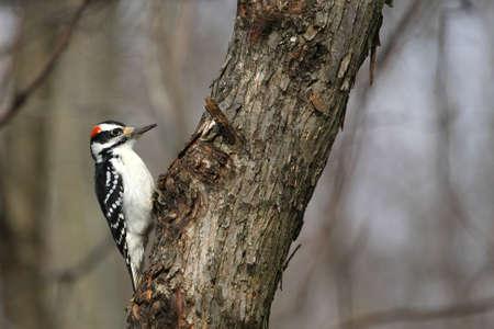 Hairy Woodpecker Picoides villosus Stock Photo