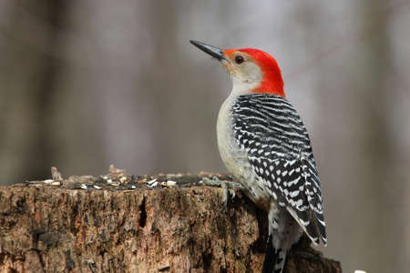 birder: Red-bellied Woodpecker Melanerpes carolinus