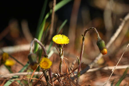 Coltsfoot Flower photo