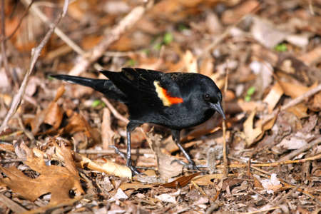 Red-winged Blackbird male photo
