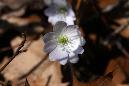 anemone flower: Anemone Flower