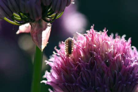 Woodlouse backlite by sun on chive flower