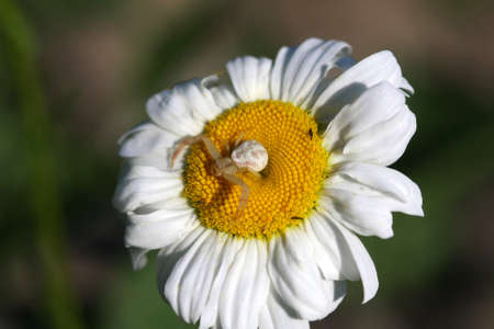 Crab Spider  photo