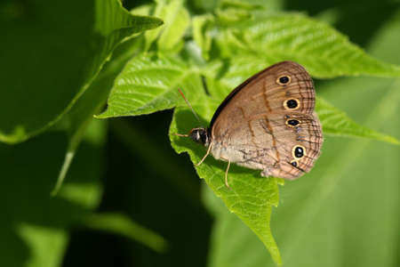 swallowtails: Little Wood Satyr Butterfly Stock Photo