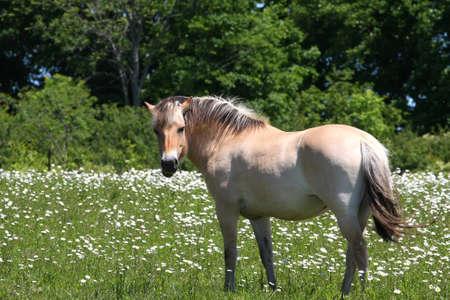 Norwegian Fjord Horse photo