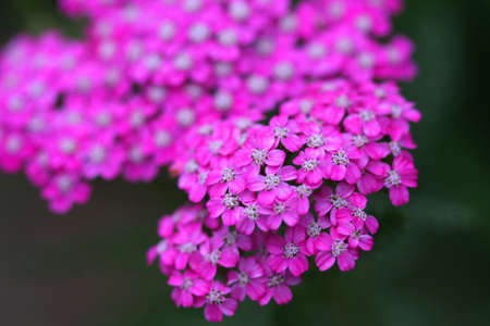 yarrow: Pink Yarrow Flower  Stock Photo