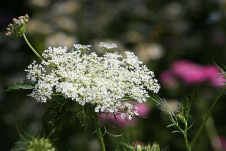 Queen Anne s Lace flower