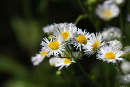 Daisy Flebane Flower