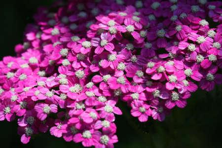 yarrow: Pink Yarrow flower