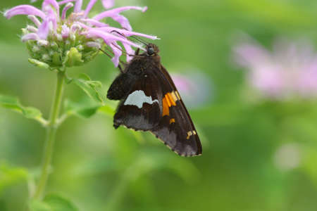 ochlodes: Silver Spotted Skipper Butterfly