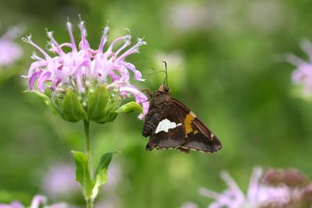 Silver Spotted Skipper Butterfly photo