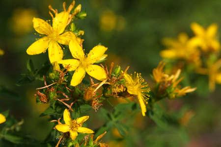 St Johns Wort Flower photo