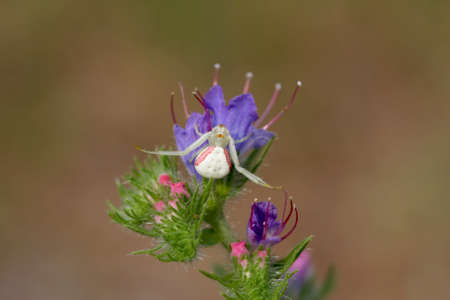 Crab Spider on Viper s Bugloss flower photo