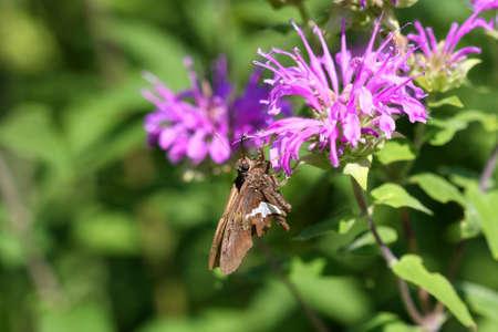 ochlodes: Silver Spotted Skipper Butterfly