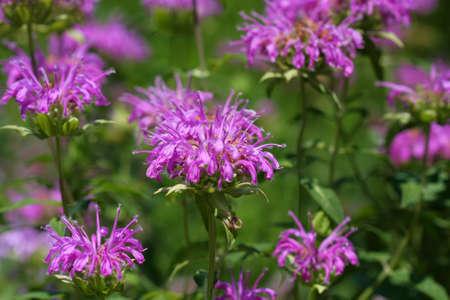 Bee Balm flower  Фото со стока