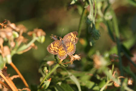 crescent: Pearl Crescent Butterfly
