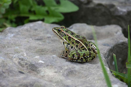 Leopard Frog photo