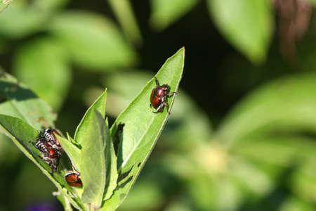Japanese Beetle photo