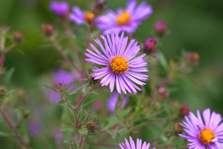 New England Aster  photo