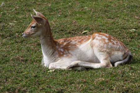Fallow Deer photo