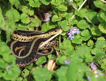 cold blooded: Eastern Garter Snake