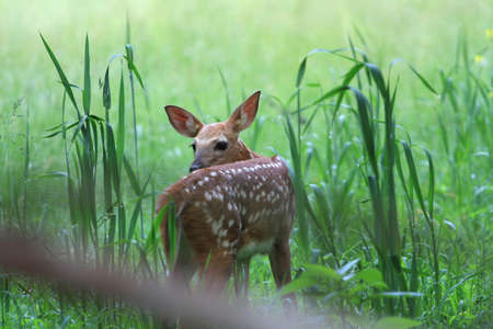 White-tail Deer fawn  photo